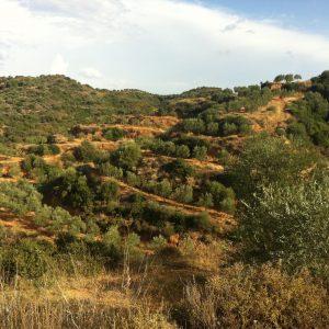Spartan Rolling Hills Olive Groves